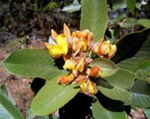 Eriosema ellipticum. Photo: Bart Wursten. Source: Flora of Zimbabwe