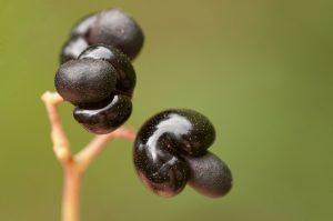Apodytes dimidiata. Photo: Bart Wursten. Source: Flora of Zimbabwe.