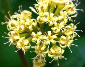 Cordia ovalis. Photo: Bart Wursten. Source: Flora of Zimbabwe