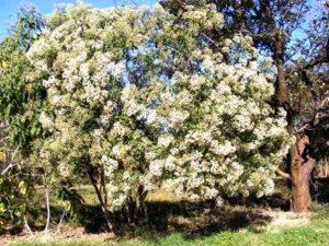Vernonia amygdalina. Photo: Mke Bingham. Source: Flora of Zimbabwe