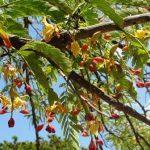 Tamarindus indica. Photo: T. Rulkens. Source: Flora of Zimbabwe