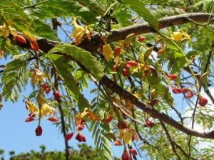Tamarindus indica. Photo: T. Rulkens. Source: Flora of Zimbabwe