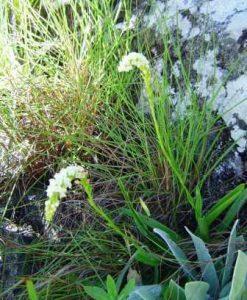 Schizochilus cecilii subsp. cecilii. Photo: Bart Wursten. Source: Flora of Zimbabwe