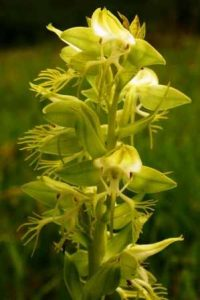 Habenaria praestans. Photo: Bart Wursten. Source: Flora of Zimbabwe