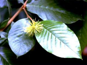 Trichocladus ellipticus. Photo: Bart Wursten. Source: Flora of Zimbabwe