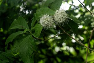 Pavetta cataractarum. Photo: Bart Wursten. Source: Flora of Zimbabwe.