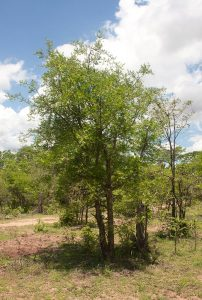 Commiphora ugogensis. Photo: Bart Wursten. Source: Flora of Zimbabwe.