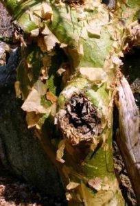 Commiphora marlothii. Photo: Bart Wursten. Source: Flora of Zimbabwe