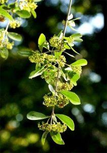 Cassine transvaalensis. Photo: Bart Wursten. Source: Flora of Zimbabwe