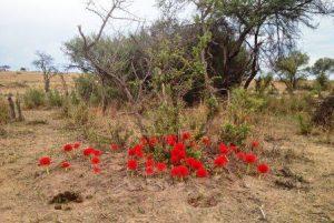 Scadoxus multiflorus. Photo: Bart Wursten: Source: Flora of Zimbabwe