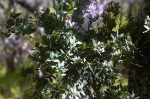 Osyris lanceolata. Photo: Bart Wursten. Source: Flora of Zimbabwe