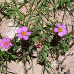 Oxalis obliquifolia. Photo: Bart Wursten. Source: Flora of Zimbabwe
