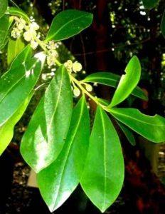 Warburgia salutaris. Photo: Mark Hyde. Source: Flora of Zimbabwe