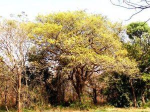 Pseudolachnostylis maprouneifolia Photo: Mike Bingham. Source: Flora of Zimbabwe
