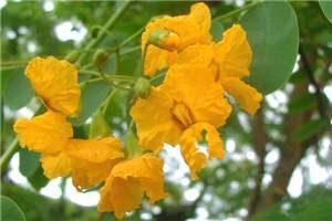 Tituana tipu Golden yellow pea-shaped flowers with reddish markings