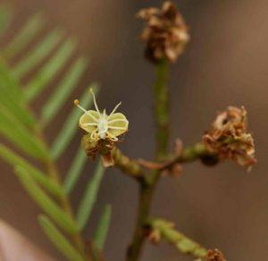 Brachystegia boehmii. Photo: Petra Ballings. Source: Flora of Zimbabwe.