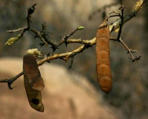 Acacia erubescens. Photo: B.T. Wursten. Source: Flora of Zimbabwe.