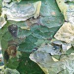 Commiphora marlothii bark