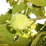 Azanza garckeana fruit