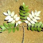 """Lannea discolor showing """"dis color"""" leaves"""