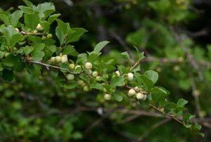 Flueggea virosa (the Snowberry tree. Photo: Bart Wursten. Source: Flora of Zimbabwe