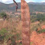 A. amythethophylla pod. Photo: Photo Rob Burret. Source: Flora of Zimbabwe