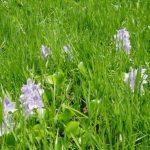 Eichhornia crassipes, water hyacinth. Photo: Mark Hyde. Source: Flora of Zimbabwe
