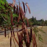Leucaena leucocephala pods. Photo : Bart Wursten. Flora of Zimbabwe