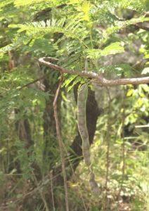 Elephantorrhiza goetzei. Photo: Bart Wursten. Source: Flora of Zimbabwe