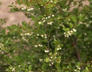 Securinega virosa. Photo: Bart Wursten. Source: Flora of Zimbabwe