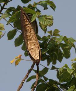 Spathodea campanulata pod