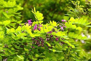 Milletia usaramensis. Photo: Bart Wursten. Source: Flora of Zimbabwe