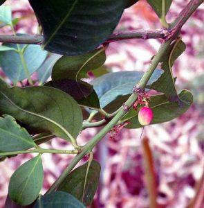Acokanthera oppositifolia. Photo: Rob Burrett. Source: Flora of Zimbabwe