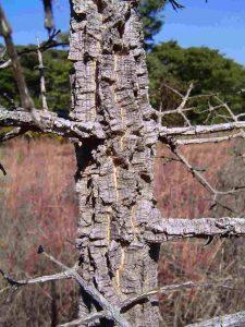 Strychnos cocculoides. Photo: Bart Wursten. Source: Flora of Zimbabwe