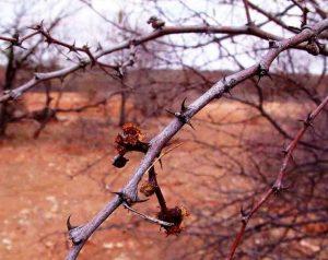 Acacia senegal var. leiorhachis. Photo: Bart Wursten. Source: Flora of Zimbabwe