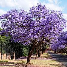 Jacaranda. Source: Wikipedia