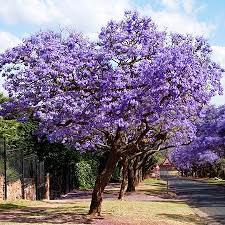 Jacaranda. Source: Wikipedia