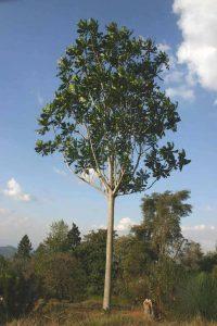 Anthocleista grandiflora. Photo: Bart Wursten. Source: Flora of Zimbabwe.
