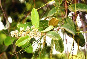 Ozoroa insignis. Photo: Bart Wursten. Source: Flora of Zimbabwe
