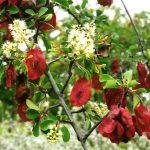 Terminalia prunioides. Photo: Bart Wursten. Source: Flora of Zimbabwe