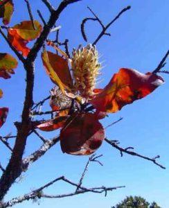 Faurea rochetiana. Photo: Bart Wursten. Source: Flora of Zimbabwe