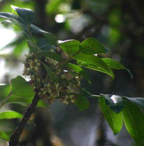 Ekebergia capensis. Photo:Bart Wursten. Source: Flora of Zimbabwe.