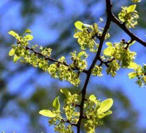Margaritaria discoidea. Photo: Bart Wursten. Source: Flora of Zimbabwe