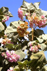 Dombeya burgessiae. Photo: Bart Wursten. Source: Flora of Zimbabwe
