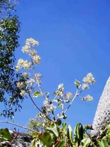 Buddleia pulchella. Photo: Mark Hyde. Source: Flora of Zimbabwe