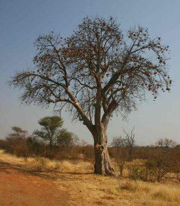 Sterculia africana. Photo: Bart Wursten. Source: Flora of Zimbabwe.