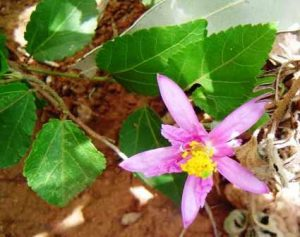 Grewia occidentalis. Photo:Bart Wursten. Source: Flora of Zimbabwe