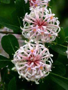 Dais cotinifolia. Photo: Bart Wursten. Source: Flora of Zimbabwe