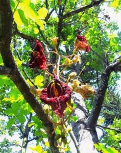 Kigelia africana. Photo: Bill Clarke. Source: Flora of Zimbabwe