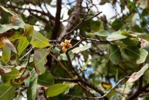 Ochna gambleoides. Photo: Bart Wursten. Source: Flora of Zimbabwe